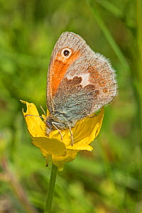 Small heath butterfly (Coenonympha pamphilus) Hutchinson's Bank, New Addington, London, UK, May (near threatened status) - Rod Williams