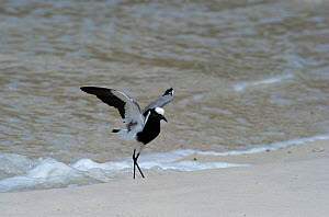 Blacksmith Lapwing or Blacksmith Plover (Vanellus armatus) standing on beach. Cape Town, South Africa. November.  -  Graham Eaton