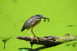 Green-backed Heron (Butorides striatus) or Striated Heron, fishing in swamp.Cayenne, French Guiana.  July.  -  Graham Eaton