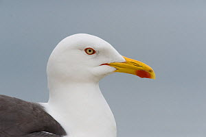 Lesser Black-backed Gull (Larus fuscus) portrait, Anglesey, Wales. July. - Graham Eaton