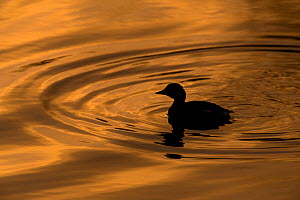 Little Grebe (Tachybaptus ruficollis) silhouetted on golden water at sunset. Gwynedd, Wales. December. - Graham Eaton