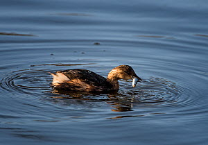 Little Grebe (Tachybaptus ruficollis) on water with juvenile Grey Mullet (Chelon labrosus). Bangor, Gwynedd, Wales. December.  -  Graham Eaton
