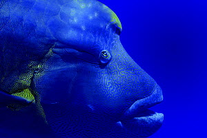 Napoleon wrasse (Cheilinus undulatus) portrait. Red Sea, Egypt. October.  -  Graham Eaton