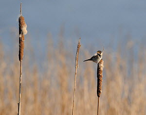 Reed Bunting (Emberiza schoeniclus) on reed mace (Typha latifolia). Wirral, UK. February. - Graham Eaton
