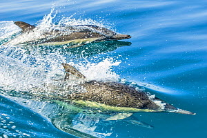 Common dolphin (Delphinus delphis) reflection as its swimming on the surface of the ocean, Eastern Pacific, March.  -  Doc White