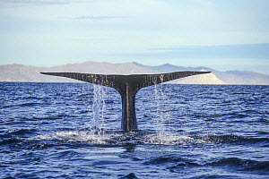 Blue whale (Balaenoptera musculus) diving with fluke above the water, Baja California, Mexico, Eastern Pacific Ocean, August. Sequence  -  Doc White