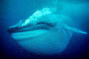 Blue whale (Balaenoptera musculus) underwater, Coronado Islands, Baja California, Mexico, Eastern Pacific Ocean  -  Doc White