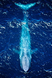 Blue whale (Balaenoptera musculus) aerial view off the coast of California, USA. Pacific Ocean.  -  Doc White