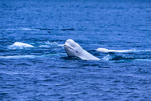Beluga whale (Delphinapterus leucas) sloughing off dead skin, Cunningham Inlet, Canada. - Doc White