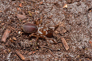 Purse web spider (Atypus affinis) adult removed from tunnel, Surrey, England, UK, July - Andy Sands