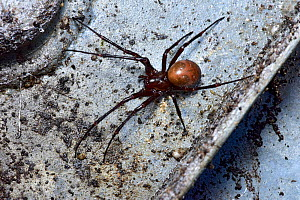 Cave spider (Meta bourneti) on inside lid of drain cover, London, England, UK, September  -  Andy Sands