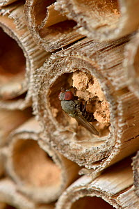 Parasitic fly (Cacoxenus indigator) laying eggs into nest of Red mason bee (Osmia bicornis) in garden bee hotel / insect box Hertfordshire, England, UK, May  -  Andy Sands