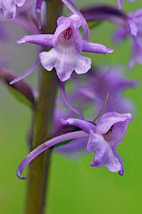 Fragrant orchid (Gymnadenia conopsenea) close up of two flowers, Bedfordshire, England, UK, June . Focus stacked image  -  Andy Sands