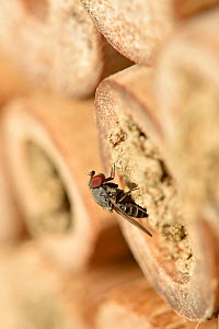Parasitic fly (Cacoxenus indigator) laying eggs into nest of Red mason bee (Osmia bicornis) in garden bee hotel / insect box . Hertfordshire, England, UK, May  -  Andy Sands