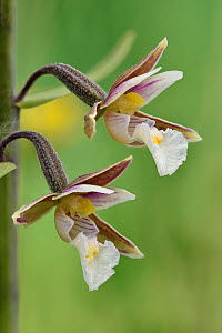 Marsh helleborine (Epipactis palustris) close up of two flowers showing side view, Hertfordshire, England, UK, June . Focus stacked image  -  Andy Sands