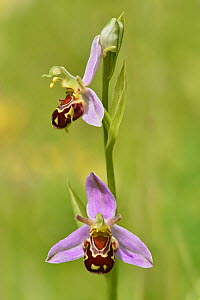 Bee orchid (Ophrys apifera) flower showing front and side view together, Bedfordshire, England, UK, June . Focus stacked image  -  Andy Sands