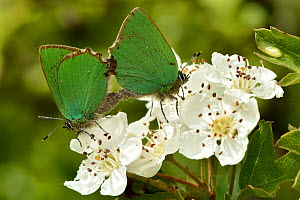 Green hairstreak butterfly (Callophrys rubi) mating pair on hawthorn blossom, Bedfordshire, England, UK, June  -  Andy Sands