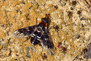 Mottled bee-fly (thyridanthrax fenestratus) bee fly who's larvae parasitize the nests of the digger wasp Ammophila pubescens, Surrey, England, UK, August - Andy Sands