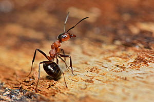 Wood Ant (Formica rufa) in defensive posture, Dorset, England, UK, May  -  Andy Sands