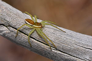 Raft spider (Dolomedes fimbriatus)  out of water resting on old heather stem, Surrey, England, UK, July - Andy Sands