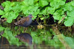 Water rail (Rallus aquaticus) standing in shallow water in watercress bed, Hertfordshire, England, UK, January  -  Andy Sands