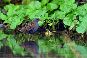 Water Rail (Rallus aquaticus) wading through shallow water in watercress bed, Hertfordshire, England, UK, January  -  Andy Sands