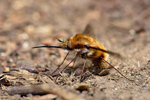 Common bee fly (Bombylius major) laying eggs on ground near to entrance of andrena sp. bee tunnel the larvae feed as parasites in the nests of andrena sp. bees, Hertfordshire, England, UK. March.  -  Andy Sands