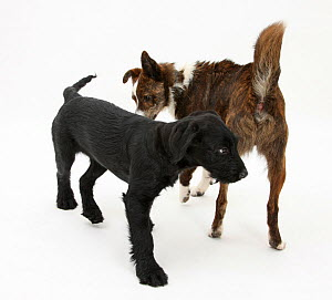 Collie cross, Brec, with hackles raised, showing assertiveness over black puppy. - Mark Taylor