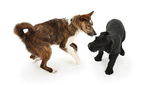 Collie cross dog Brec, with hackles raised, showing assertiveness over black puppy. - Mark Taylor