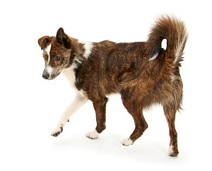 Mongrel dog, Brec, in assertive stance with hackles raised. - Mark Taylor
