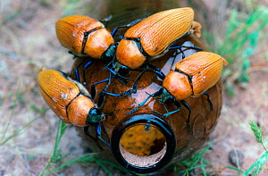 Jewel beetles (Julodimorpha bakewelli) males attempting to mate with a discarded beer bottle. Females of this species are flightless and considerably larger than the males, hence the attraction what t...  -  Jiri Lochman