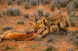 Feral European red fox (Vulpes vulpes) feeding on a kangaroo carcass, Payne's Find, Western Australia. September  -  Jiri Lochman