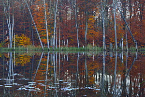 European beech (Fagus sylvatica) and Pines reflected in  Schweingartensee lake.Serrahn, Muritz-National Park, World Natural Heritage site, Germany, Europe. November 2015. - Sandra Bartocha