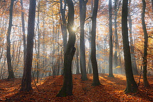 Sun rays  shining through  European beech woodland  (Fagus sylvatica). Serrahn, Muritz-National Park, World Natural Heritage site, Germany, Europe. November 2015.  -  Sandra Bartocha