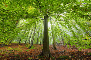 European beech tree (Fagus sylvatica). in woodland, Serrahn, Muritz-National Park, World Natural Heritage site, Germany, Europe. October 2015.  -  Sandra Bartocha