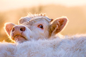 Domestic Charolais calf (Bos taurus) in autumn, looking over back of fellow cow, France. - Klein & Hubert