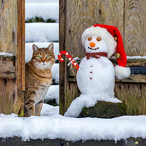 Domestic Tabby cat (Felis silvestris catus) sitting in gate with snowman, France.  -  Klein & Hubert