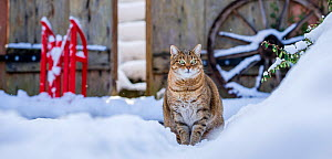 Domestic Tabby cat (Felis silvestris catus) in snow, France.  -  Klein & Hubert