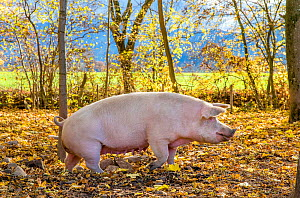 Organic free range domestic Landrace pig (Sus scrofa domesticus) in forested pen, autumn, Germany.  -  Klein & Hubert