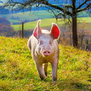 Organic free range domestic Landrace pig (Sus scrofa domesticus) running in autumn pasture, Germany. - Klein & Hubert
