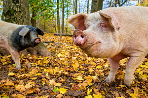 Organic free range domestic mixed breed Pietrain x Landrace pigs (Sus scrofa domesticus) in forested pen, autumn, Germany.  -  Klein & Hubert