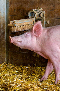 Organic free range domestic Pig (Sus scrofa domesticus)  using comfort brushes, Germany.  -  Klein & Hubert