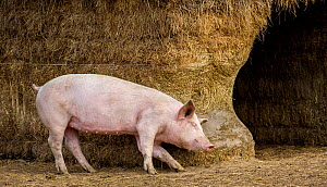 Outdoor free range domestic Pig (Sus scrofa domesticus) rubbing against straw bale shelter, Germany.  -  Klein & Hubert