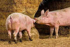 Outdoor free range domestic Pigs (Sus scrofa domesticus) playing near straw bale shelter, Germany.  -  Klein & Hubert