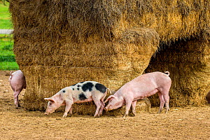 Outdoor free range young domestic mixed breed Pietrain and Landrace pigs (Sus scrofa domesticus) rubbing against straw bales used as shelter, Germany,  -  Klein & Hubert