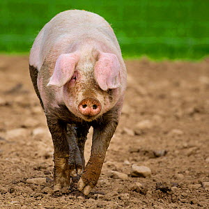 Outdoor free range domestic pig (Sus scrofa domesticus) walking in mud, Germany.  -  Klein & Hubert
