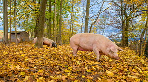 Outdoor free range domestic mixed breed Landrace and PIetrain pigs (Sus scrofa domesticus) in forested pen, autumn, Germany.  -  Klein & Hubert