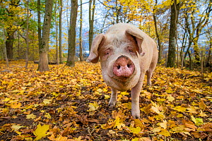 Outdoor free range domestic Landrace pig (Sus scrofa domesticus) in forested autumn pen, Germany.  -  Klein & Hubert