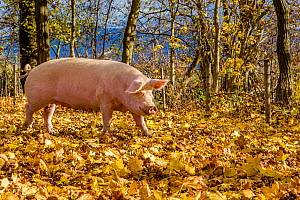 Outdoor free range domestic Landrace pig (Sus scrofa domesticus) in forested pen, autumn, Germany.  -  Klein & Hubert