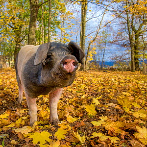 Outdoor free range domestic mixed breed pig (Sus scrofa domesticus) in forested pen, autumn, Germany.  -  Klein & Hubert